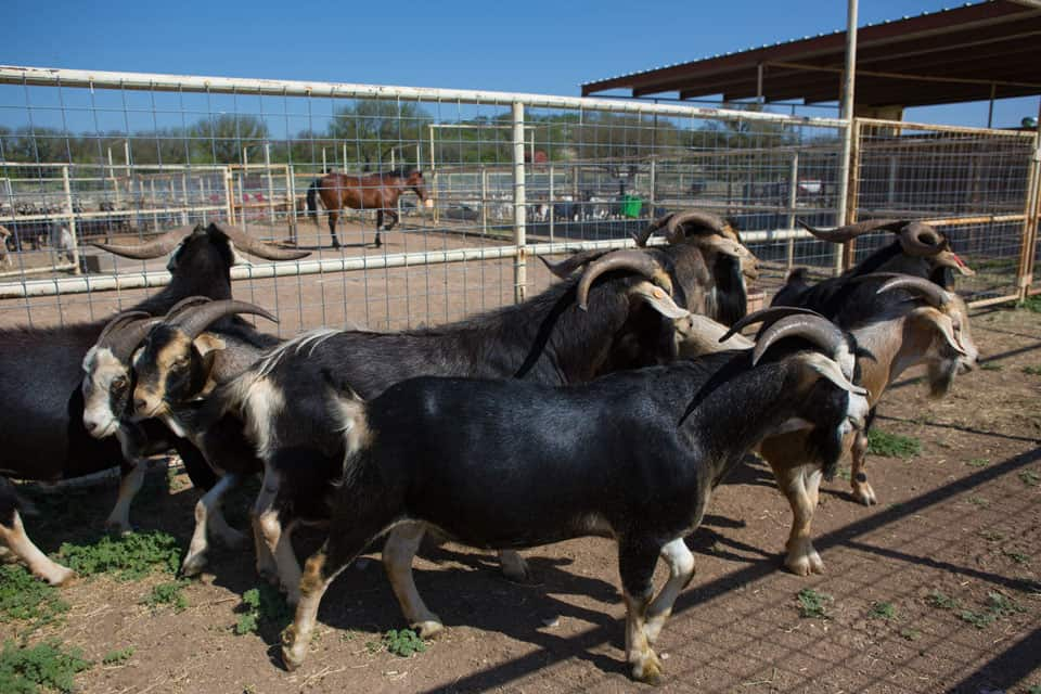 Neely-Sawyer Ranch Spanish Goat herds