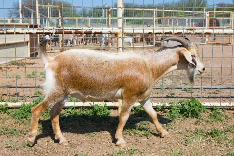 Neely-Sawyer Ranch Spanish Goat Breed