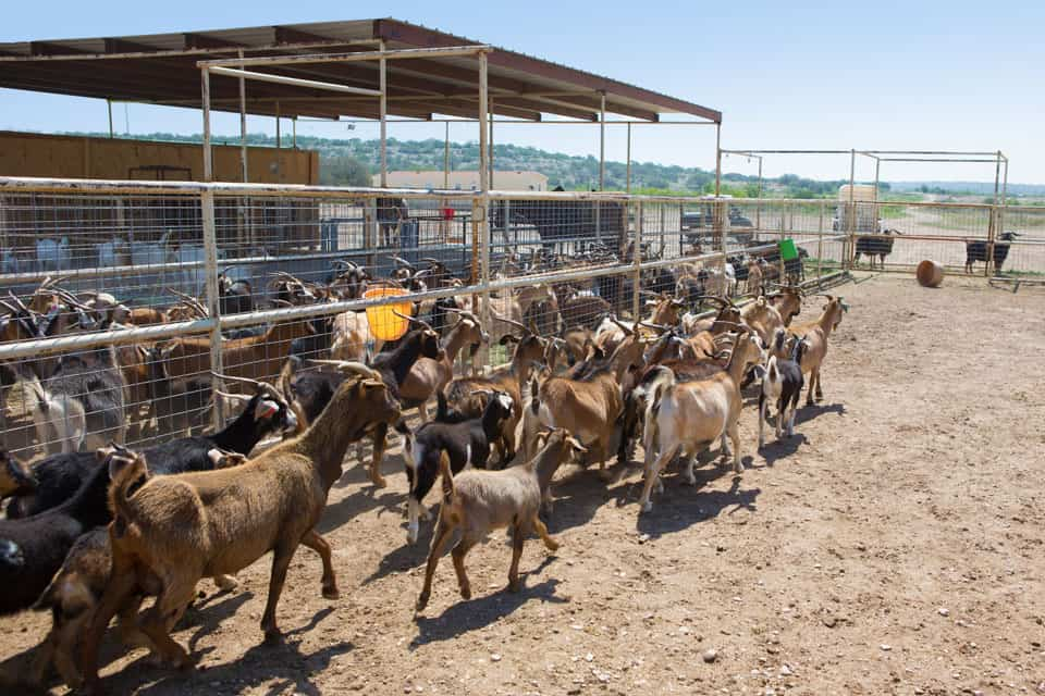 Neely-Sawyer Ranch Spanish Goats San Antonio Herd